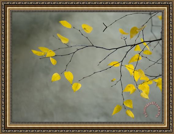 Collection Yellow Autumnal Birch Betula Tree Limbs Against Gray Stucco Wall Framed Print