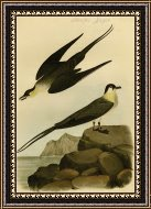 John James Audubon Arctic Jager Painting Arctic Jager Print For Sale