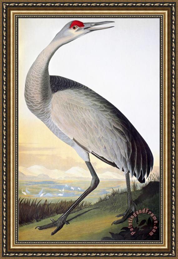 John James Audubon Audubon Sandhill Crane Framed Print For