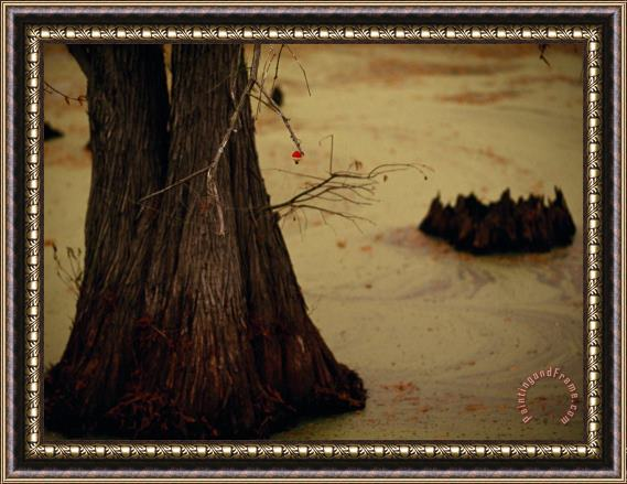 Raymond Gehman A Fishing Bobber Caught in The Branches of a Cypress Tree Framed Print