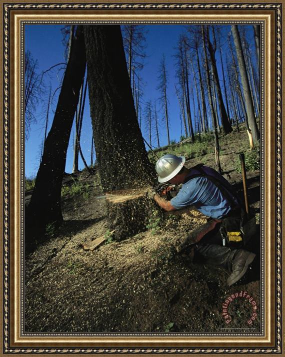 Raymond Gehman Man Uses a Chain Saw to Cut Down a Burnt Tree Framed Painting
