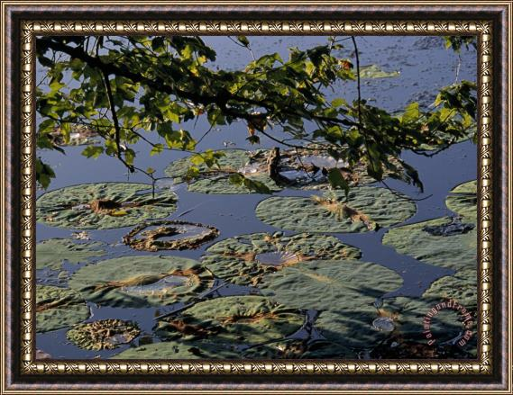 Raymond Gehman Water Lily Pads on The Surface of Hematite Lake Framed Print