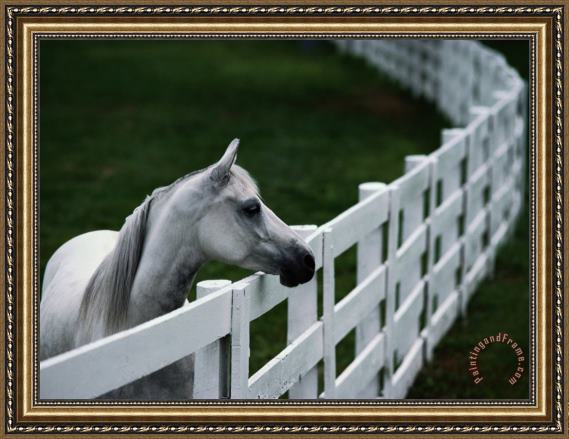 Raymond Gehman White Horse Staring Over a Wooden Fence Framed Painting