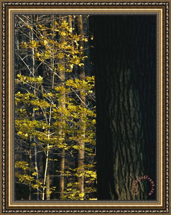 Raymond Gehman Yellow Autumn Leaves on a Small Sugar Maple Next to Large Tree Trunk Framed Print