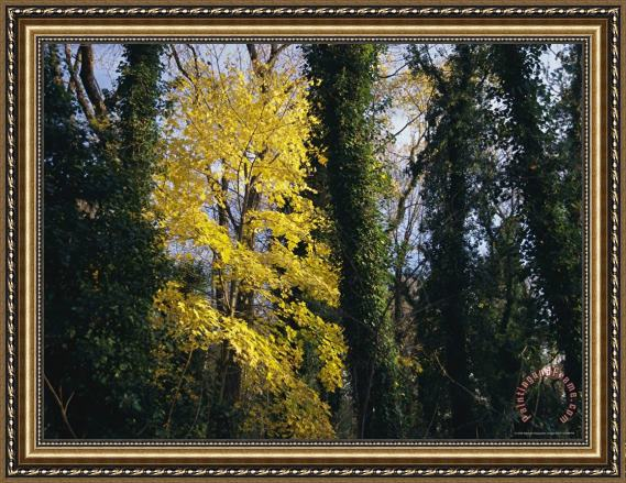 Raymond Gehman Yellow Fall Foliage on Maple Trees And Ivy Entwined Tree Trunks Framed Print