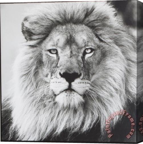 ausue Lion 5 Stretched Canvas Print / Canvas Art