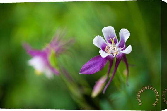 Collection 3 Purple Columbine Wildflower Art Print For Sale