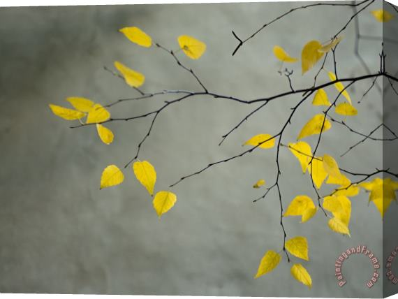 Collection Yellow Autumnal Birch Betula Tree Limbs Against Gray Stucco Wall Stretched Canvas Print / Canvas Art