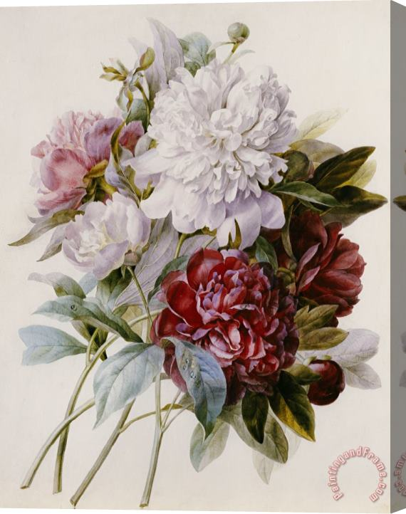 Pierre Joseph Redoute A Bouquet Of Red Pink And White Peonies Stretched Canvas Print / Canvas Art