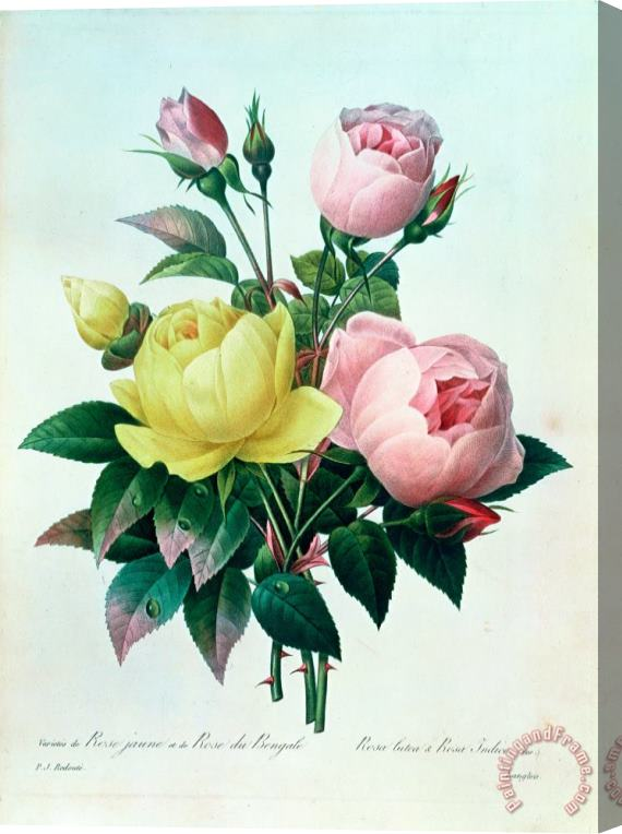 Pierre Joseph Redoute Rosa Lutea and Rosa Indica Stretched Canvas Print / Canvas Art
