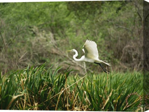 Raymond Gehman A Great Egret Casmerodius Albus Flying Over Tall Grasses Stretched Canvas Print / Canvas Art