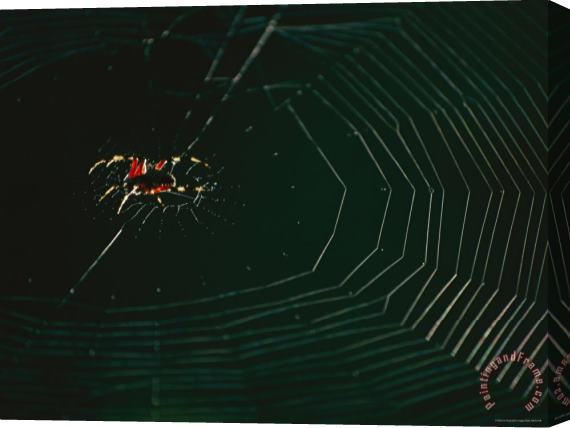 Raymond Gehman An Orb Weaver Spider And Its Web Sparkle in The Sunshine Stretched Canvas Print / Canvas Art