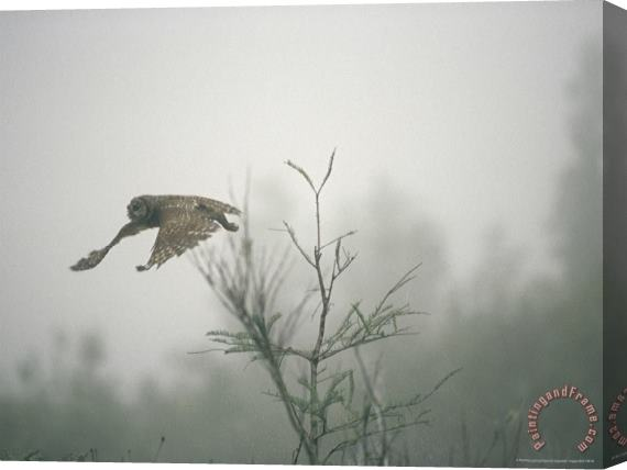 Raymond Gehman Barred Owl Strix Varia Swooping Through a Foggy Cypress Forest Stretched Canvas Print / Canvas Art