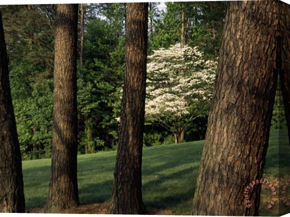 Raymond Gehman Blooming Dogwood Tree Among Pine Trees Stretched Canvas Print / Canvas Art