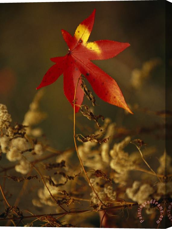 Raymond Gehman Close View of Sweet Gum Leaf And Dried Weeds in Autumn Hues Stretched Canvas Print / Canvas Art