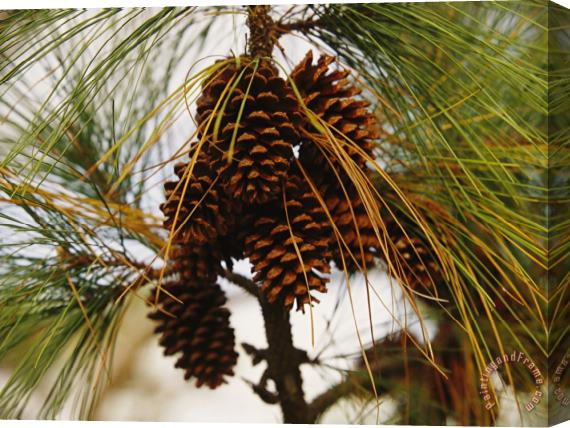 Raymond Gehman Cluster of Long Leaf Pine Needles And Cones Stretched Canvas Print / Canvas Art