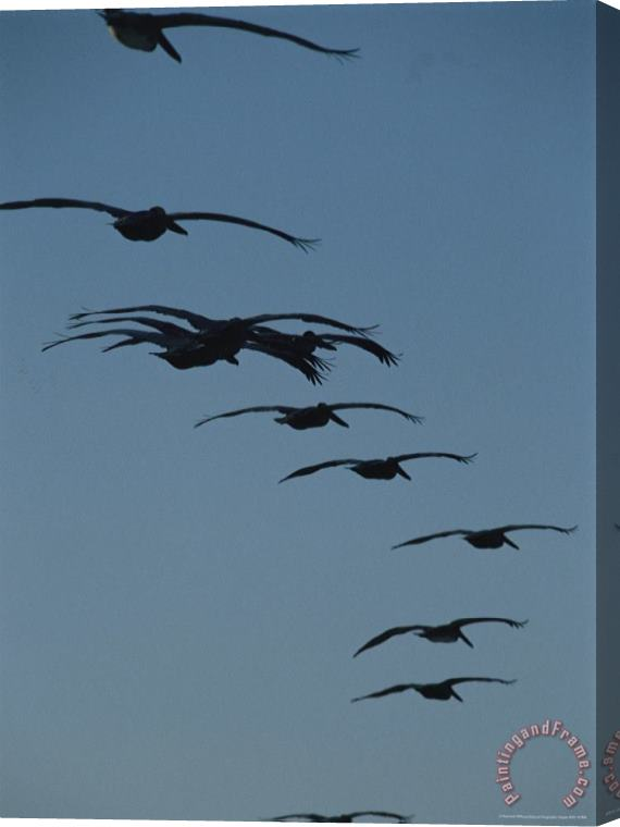 Raymond Gehman Flock of Brown Pelicans Flying in Formation Stretched Canvas Print / Canvas Art