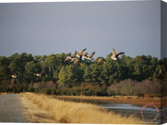 Raymond Gehman Flock of Canada Geese Take Flight From a Marsh Stretched Canvas Print / Canvas Art