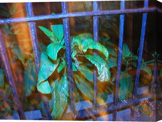 Raymond Gehman Plant Growing Through a Wrought Iron Fence in Front of a House Stretched Canvas Print / Canvas Art
