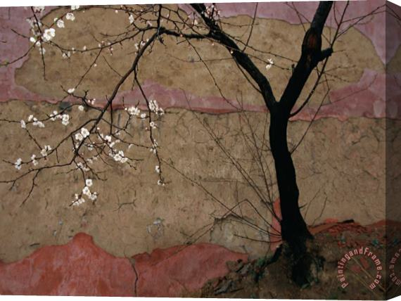 Raymond Gehman Plum Tree Against a Colorful Temple Wall Stretched Canvas Print / Canvas Art