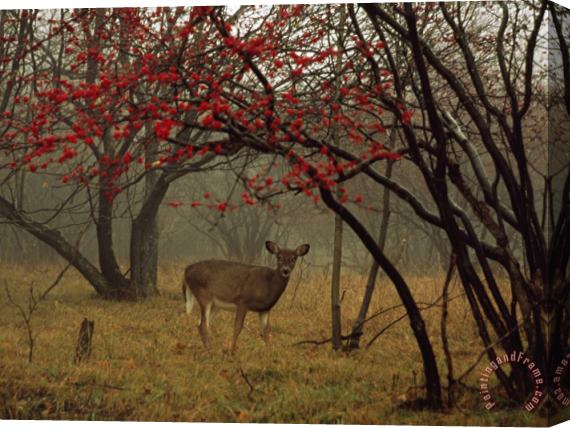 Raymond Gehman White Tailed Deer Doe in a Foggy Forest Clearing in Autumn Stretched Canvas Print / Canvas Art