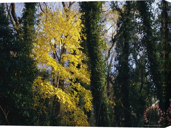 Raymond Gehman Yellow Fall Foliage on Maple Trees And Ivy Entwined Tree Trunks Stretched Canvas Print / Canvas Art
