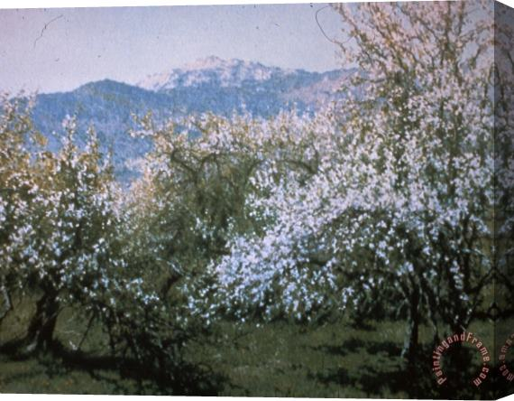 Richard Wheeler Whitney Abandoned Orchard Stretched Canvas Print / Canvas Art
