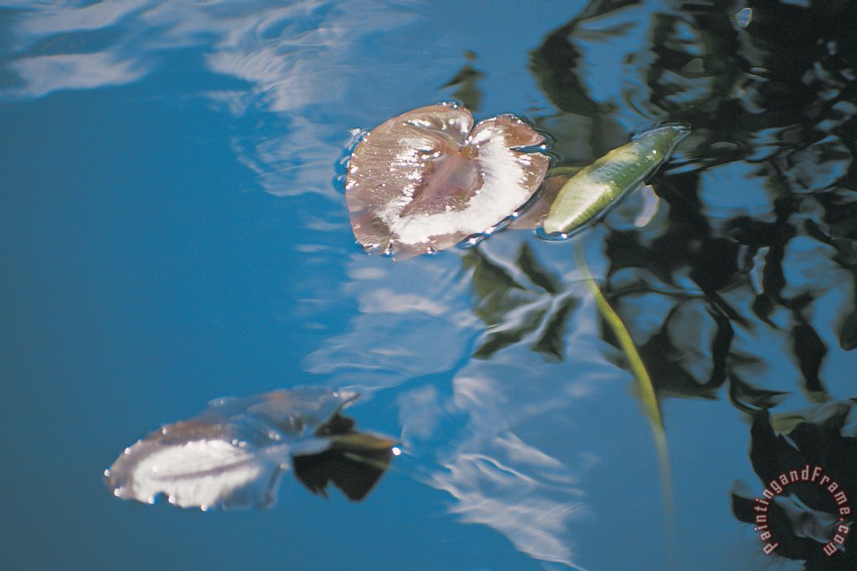 Water lily leaves and reflection of clouds in unknown lake painting - Australian School Water lily leaves and reflection of clouds in unknown lake Art Print