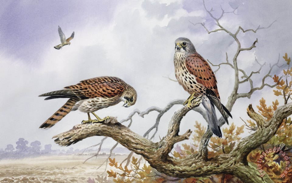 Pair of Kestrels painting - Carl Donner Pair of Kestrels Art Print