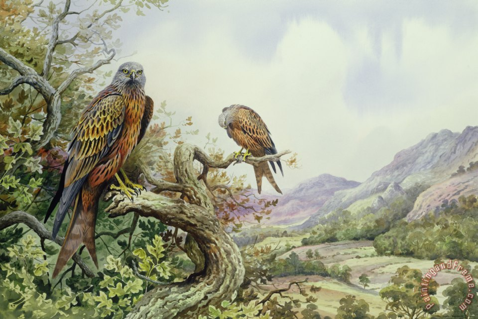 Pair of Red Kites in an Oak Tree painting - Carl Donner Pair of Red Kites in an Oak Tree Art Print