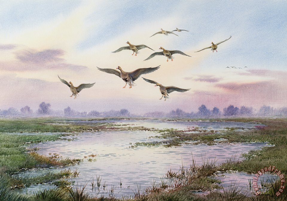 White-Fronted Geese Alighting painting - Carl Donner White-Fronted Geese Alighting Art Print
