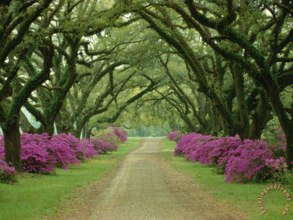Collection A Beautiful Pathway Lined with Trees And Purple Azaleas Art Print