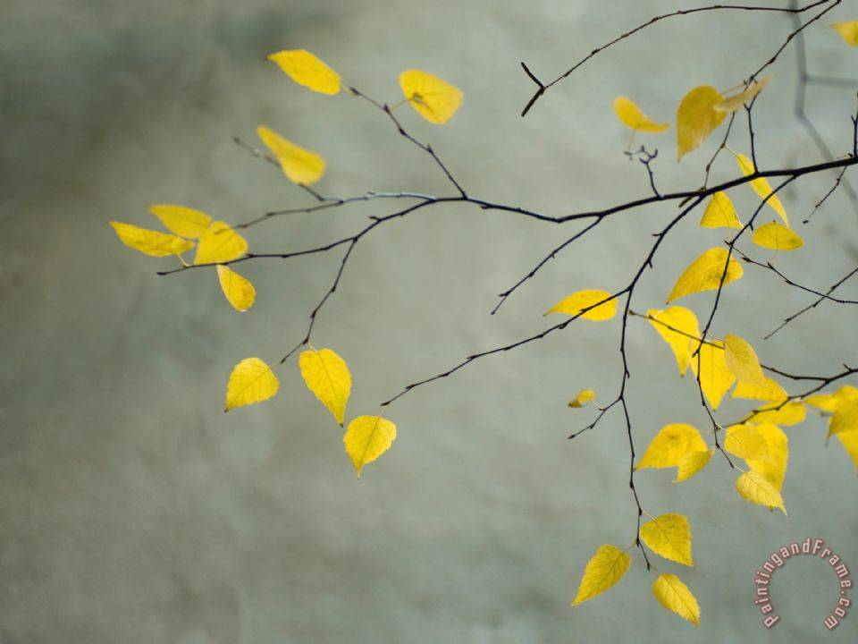 Yellow Autumnal Birch Betula Tree Limbs Against Gray Stucco Wall Painting Collection
