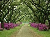 A Beautiful Pathway Lined with Trees And Purple Azaleas by Collection