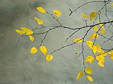 Yellow Autumnal Birch Betula Tree Limbs Against Gray Stucco Wall
