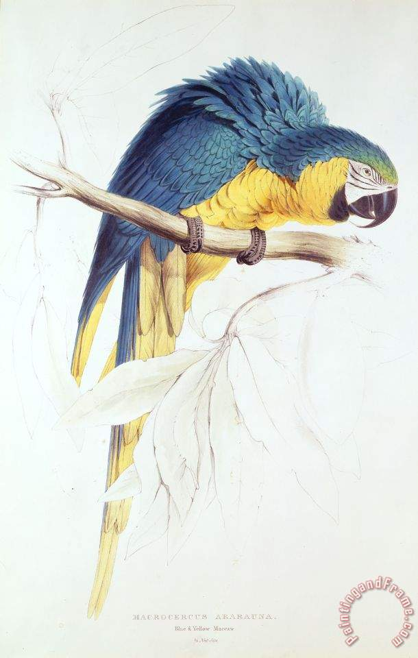 Painting Blue And Yellow Blue And Yellow Macaw Painting