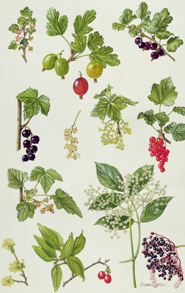 Currants and Berries painting - Elizabeth Rice Currants and Berries Art Print