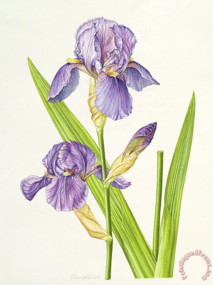 Elizabeth Rice Iris Painting Iris Print For Sale
