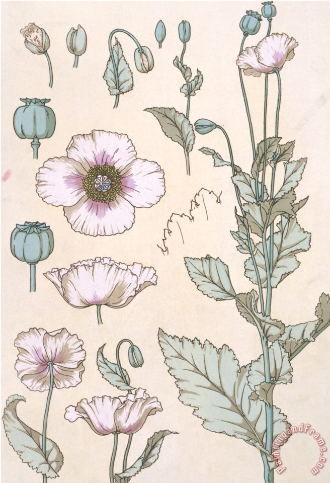Botanical Diagram of a Poppy painting - Eugene Grasset Botanical Diagram of a Poppy Art Print