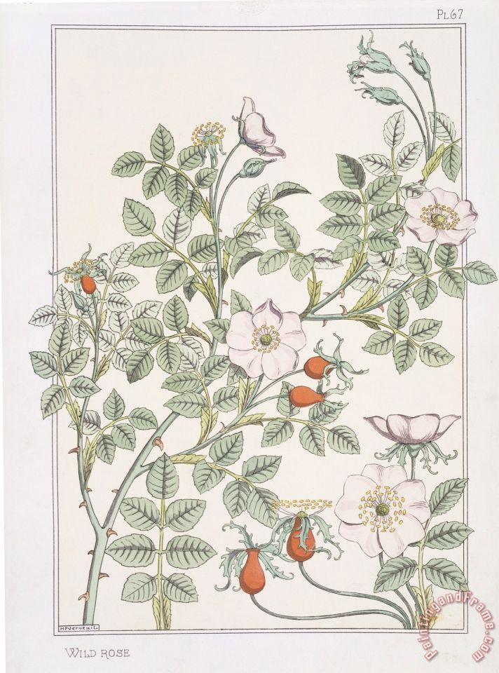 Eugene Grasset Botanical Diagram Of Wild Rose Painting