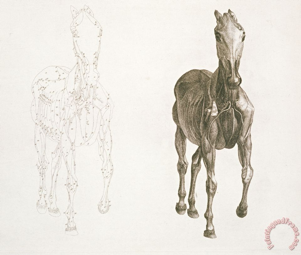 George Stubbs Tab Viii From The Anatomy Of The Horse painting - Tab ...