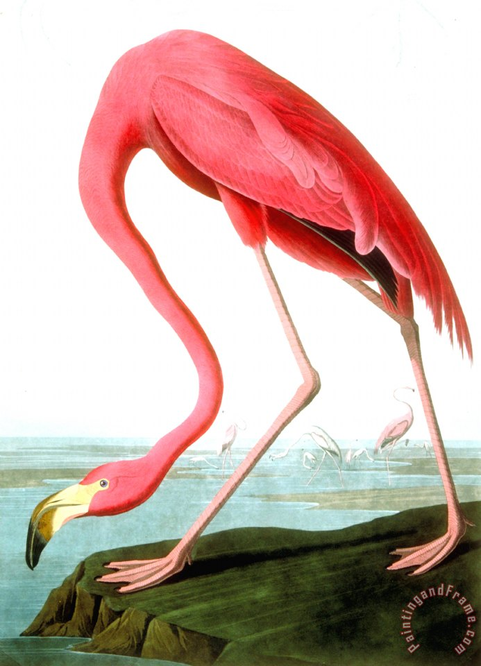 John james audubon american flamingo painting american for Poster prints for sale