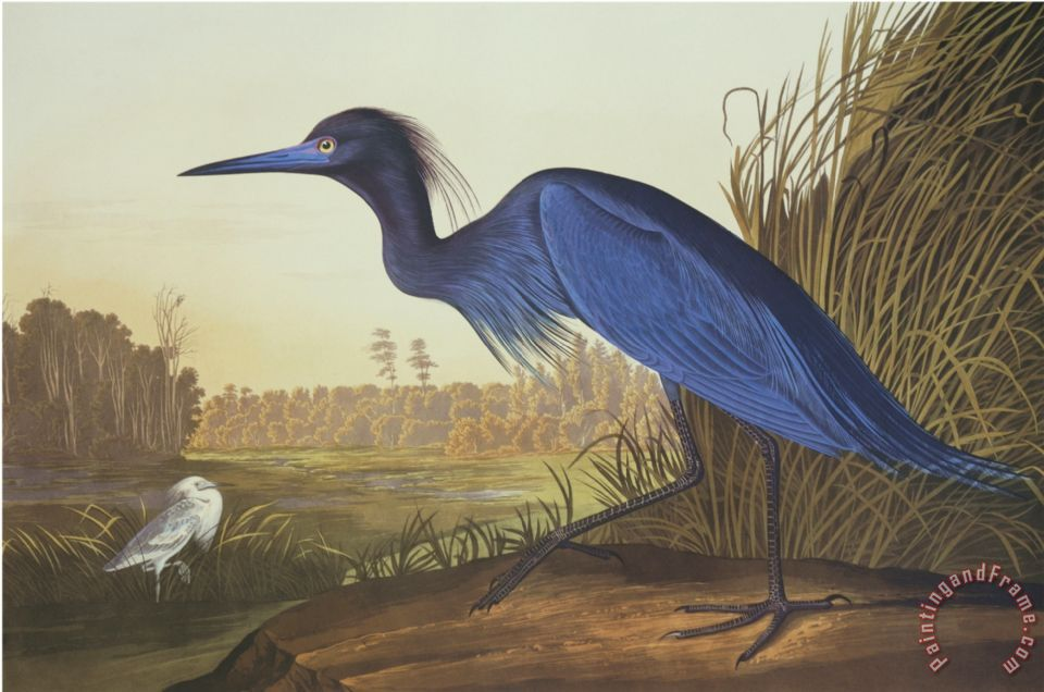 John James Audubon Blue Crane Or Heron Painting Blue