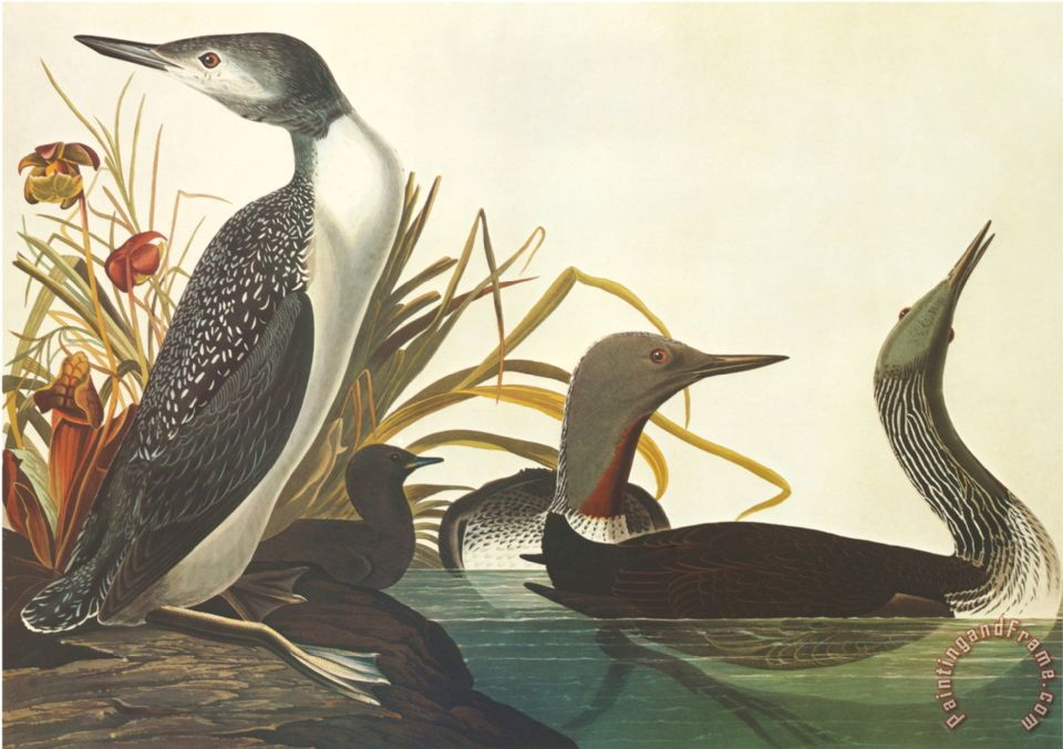 John James Audubon Red Throated Diver Painting Red