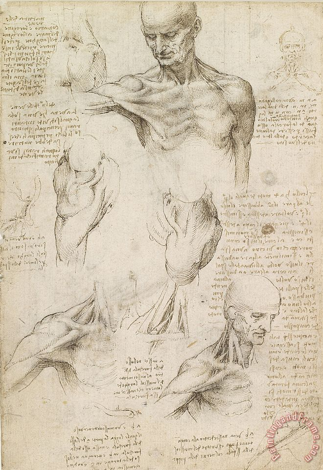 Anatomical Drawing Of Shoulder And Neck painting - Leonardo da Vinci Anatomical Drawing Of Shoulder And Neck Art Print