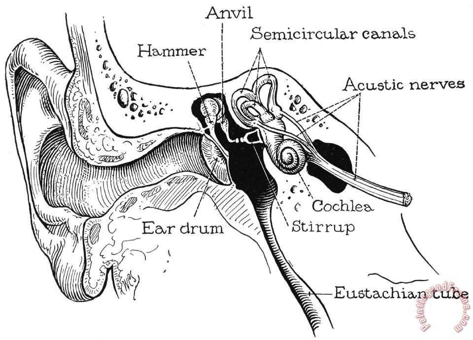 Others Anatomy: Ear Canal painting - Anatomy: Ear Canal print for sale