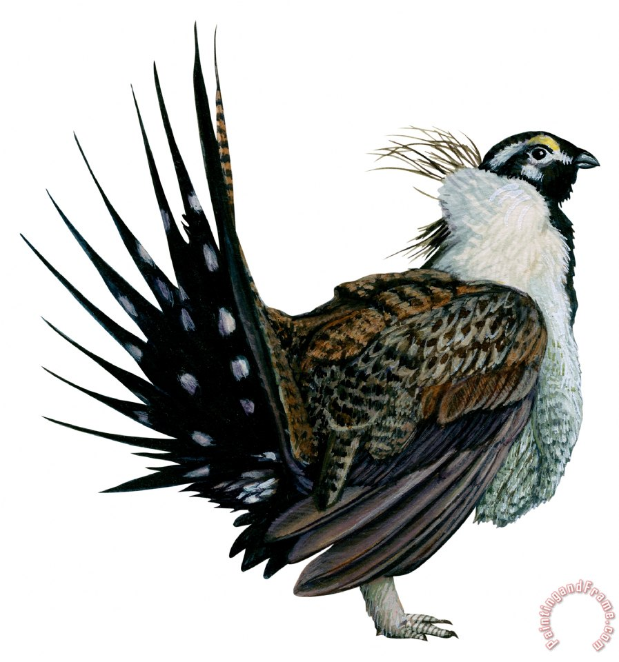 Sage grouse drawing - photo#36
