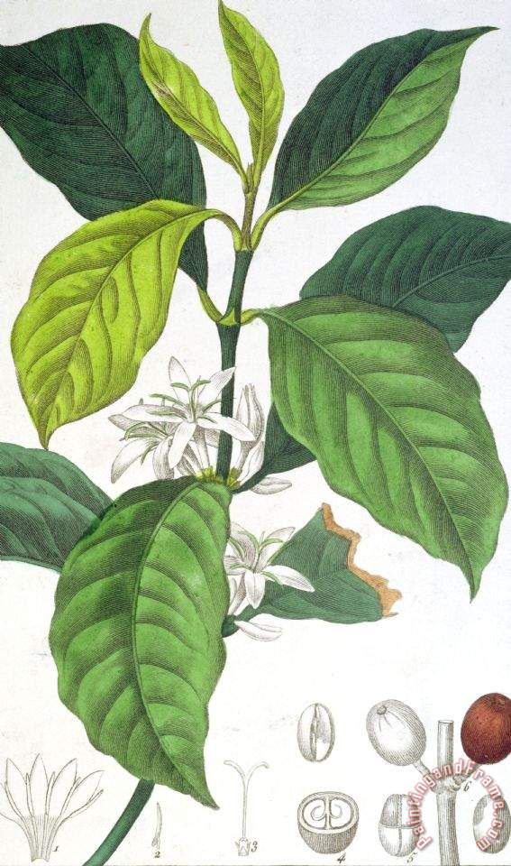Pancrace bessa coffea arabica painting coffea arabica for Coffea arabica
