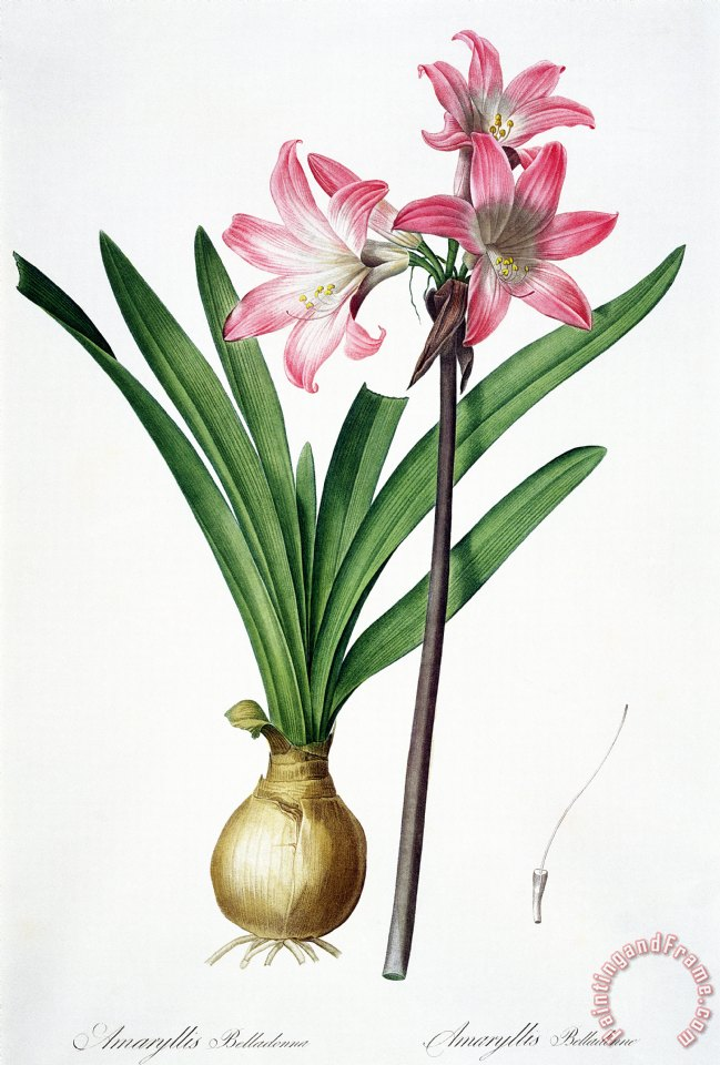 Pierre Joseph Redoute Amaryllis Belladonna From Les Liliacees Engraved By De Gouy Art Print