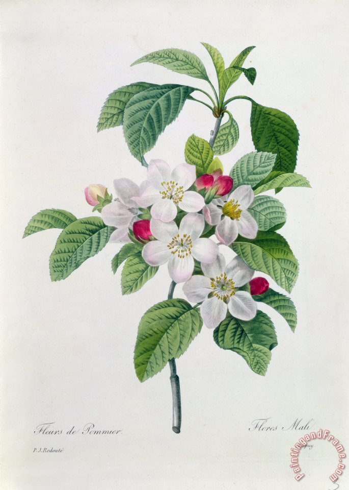 Apple Blossom painting - Pierre Joseph Redoute Apple Blossom Art Print